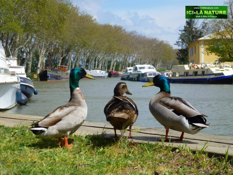 00-ducks-biking-canal-du-midi
