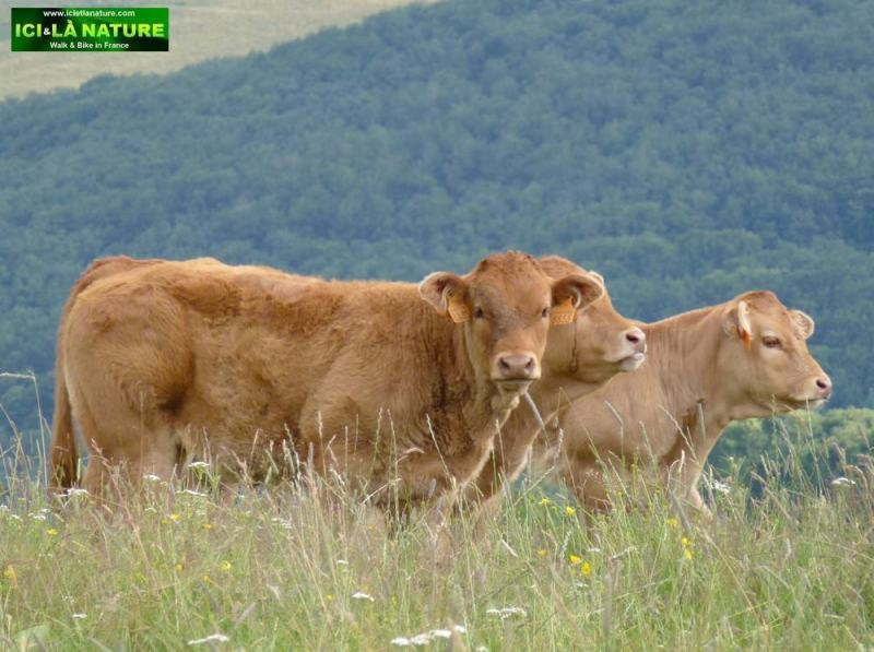 31-cows-aubrac-camino-france