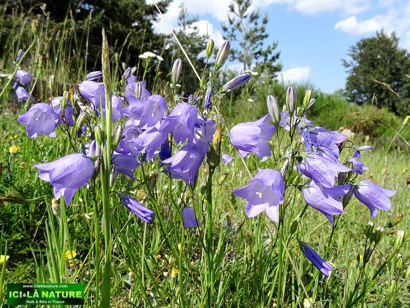 70-blue flowers GR 65 Lozere