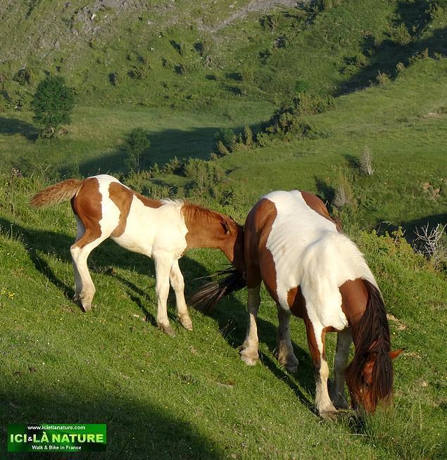 25-wild horses pyrenees france