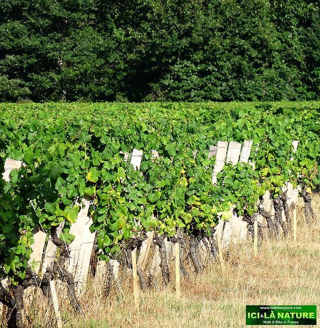 62-landscape vineyards sauternes bordeaux