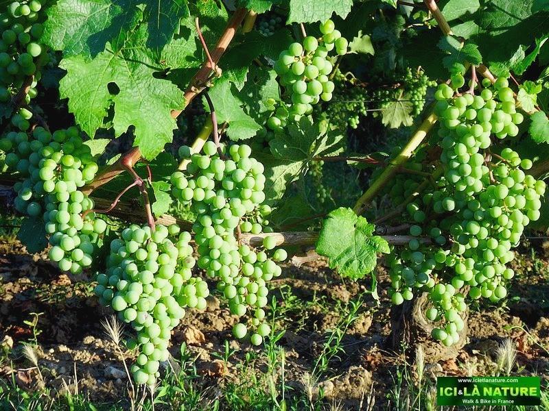 30-picture vineyards bordeaux biking france