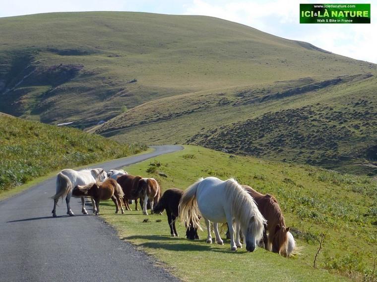 52-chevaux basques horses