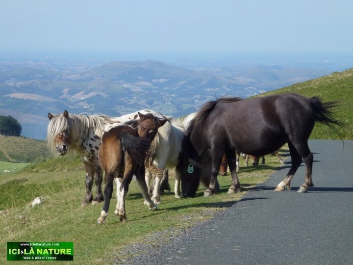 53-wild horses basque country france