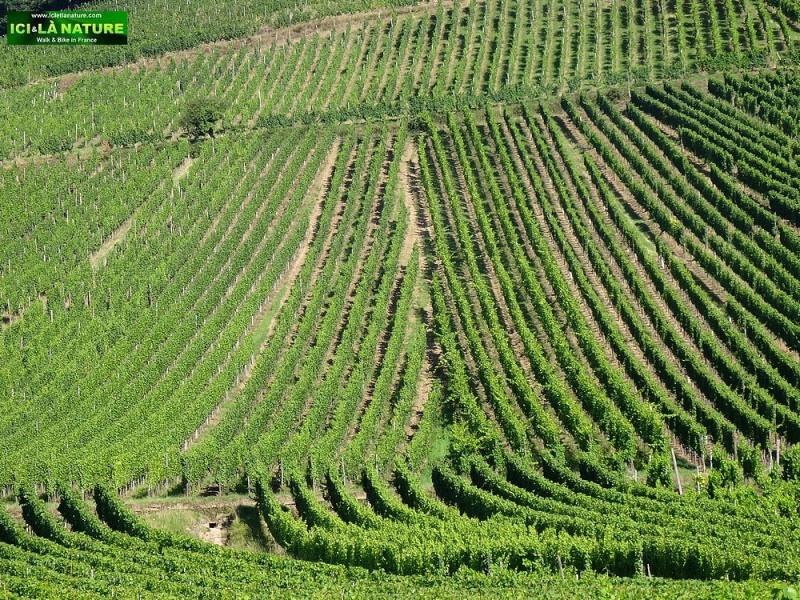 02-alsace wine trail vineyards