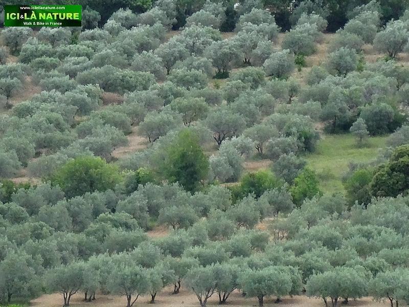 03-olive plantation provence