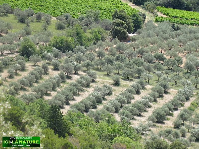 05-olive grove provence