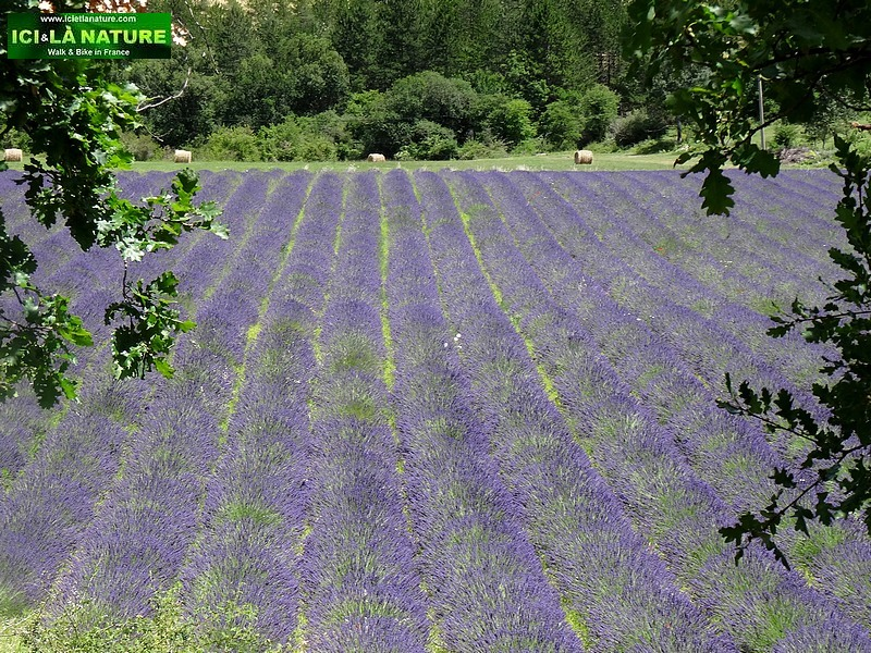 41-lavender fields provence vaucluse