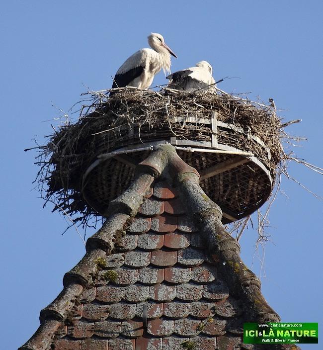 54-nid de cigognes france alsace