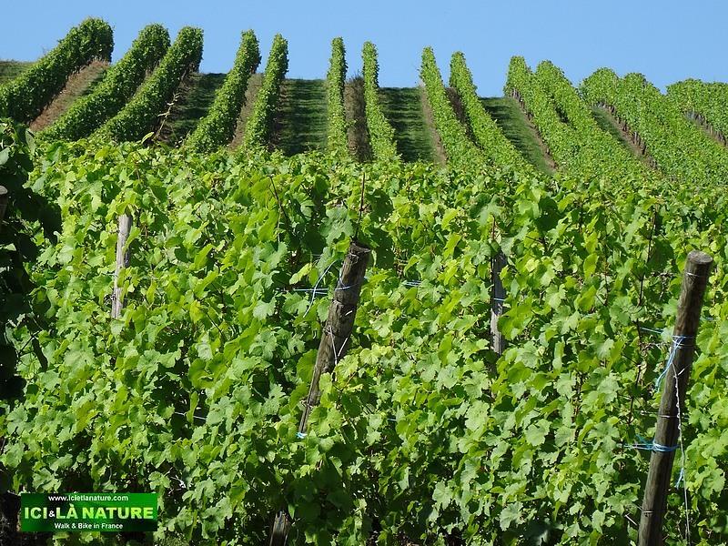 64-alsace vineyard landscape