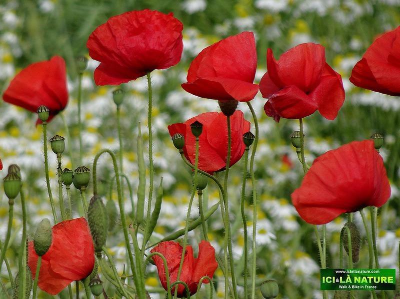 08-poppies