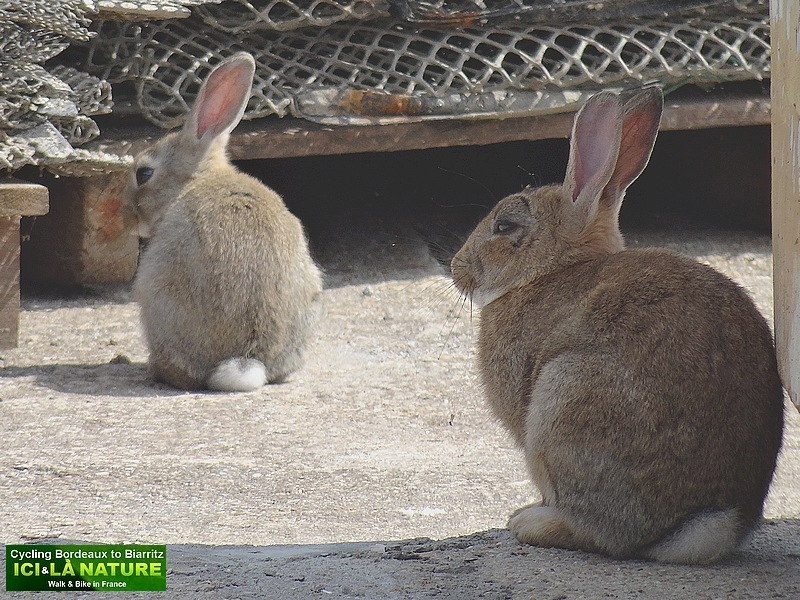 26-lapins bassin arcachon