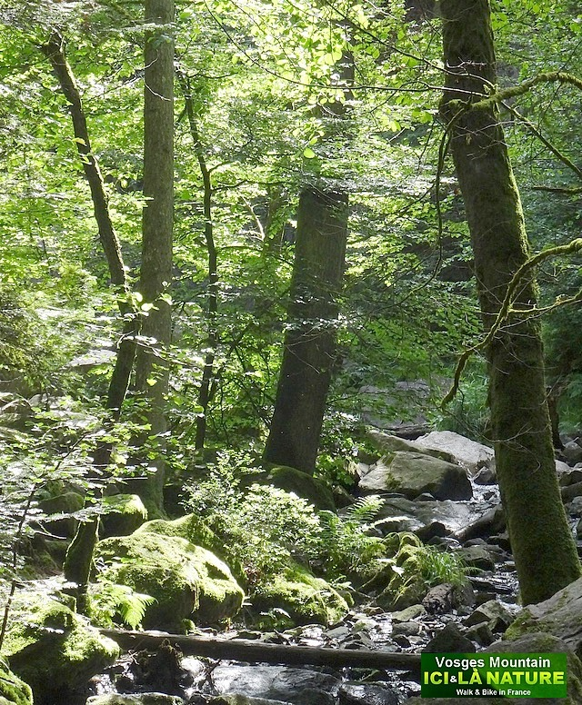 49-forêt des vosges forest