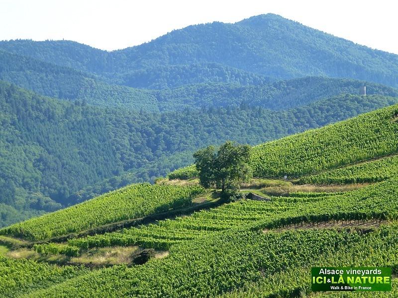 52-route du vin alsace