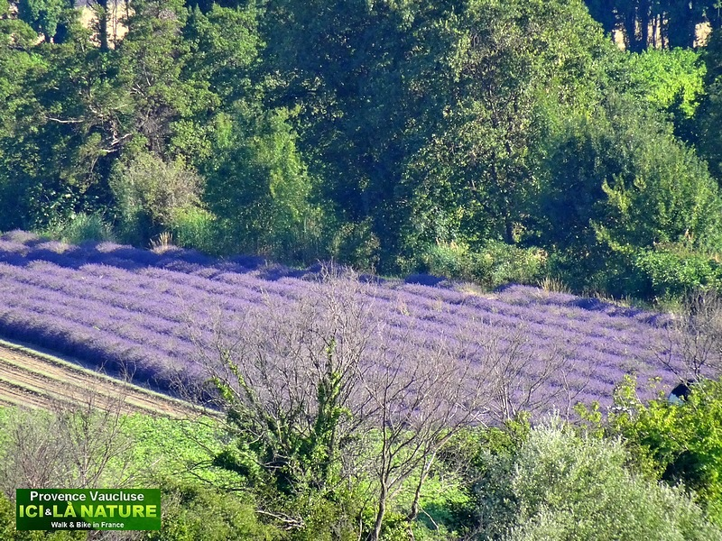03-where to see lavender fields provence