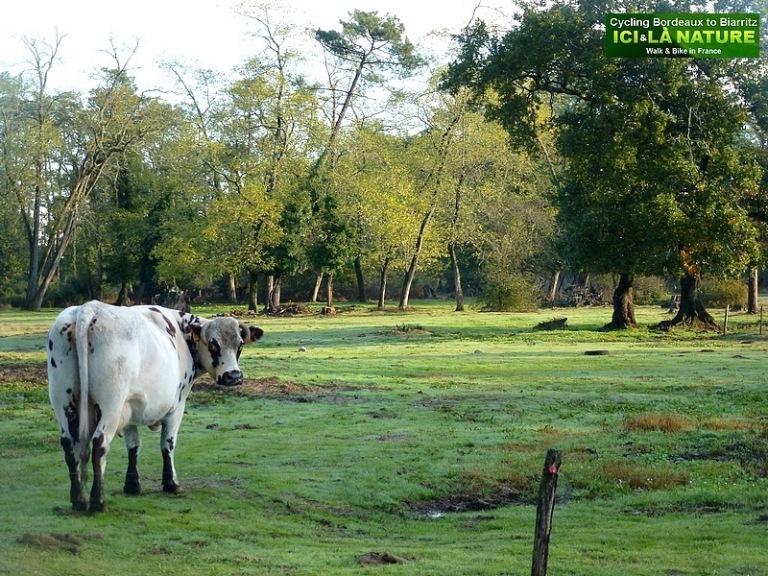 77-vache landaise