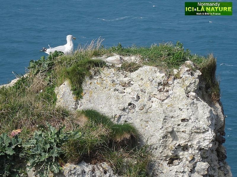 21-oiseaux de mer en normandie