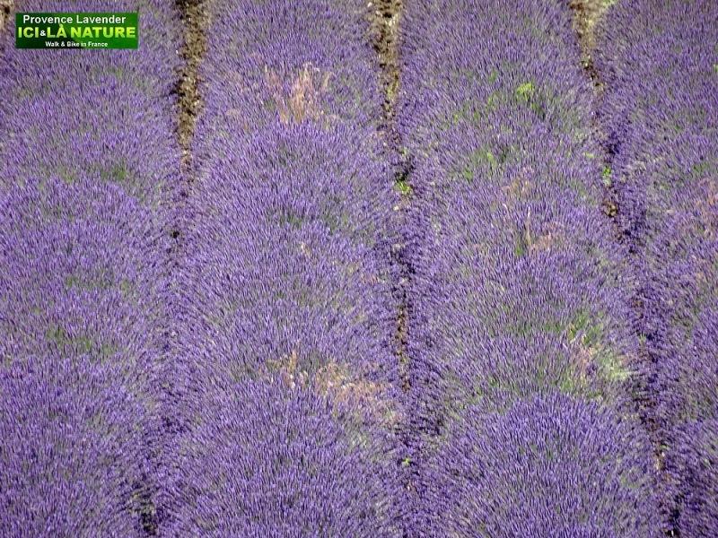 02-ou voir champs de lavande en provence