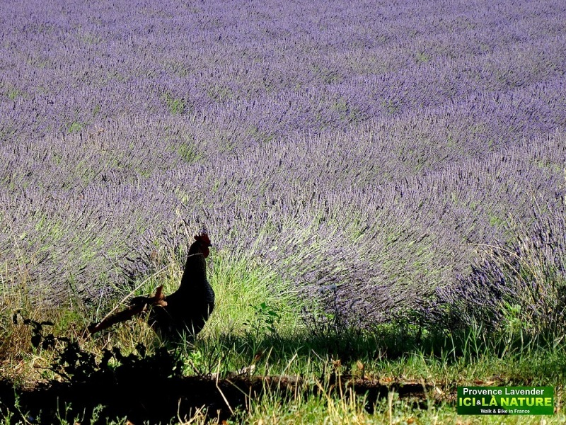 04-lavender field in provence france