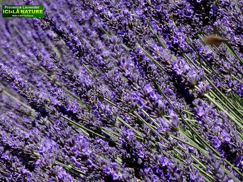 16-lavender fields in france