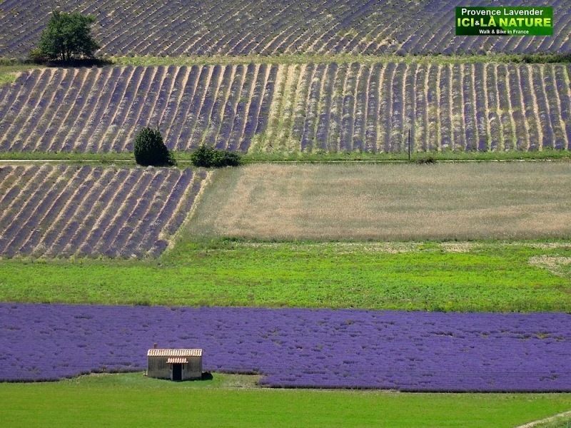 24-lavender fields in france provence