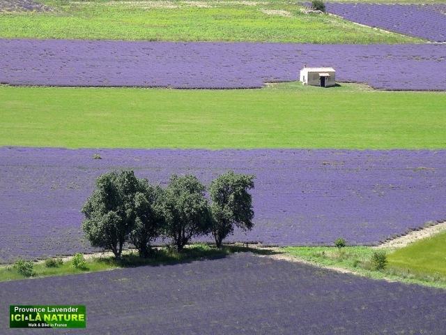 30-photos avec champs de lavande
