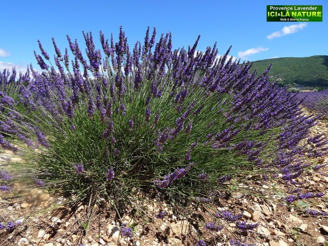 35- where to see lavender fields