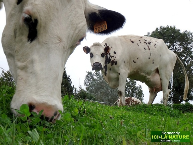 91- cows in normandy
