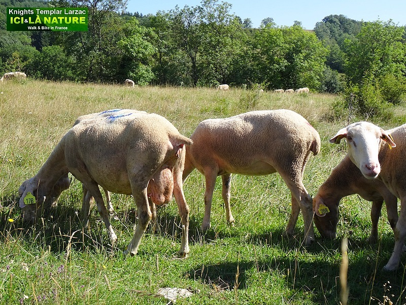 39-moutons larzac