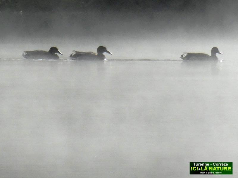 03-ducks in the early morning correze