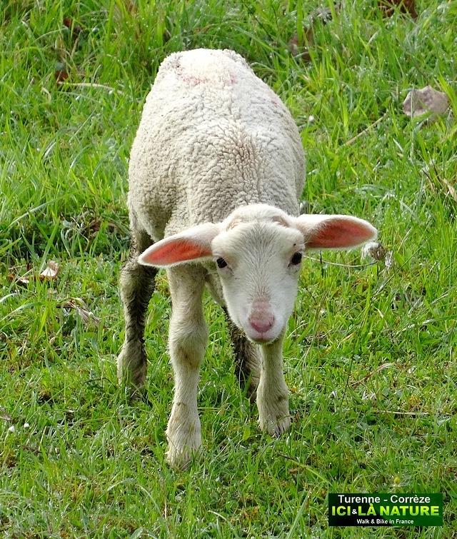 04- agneau de corrèze