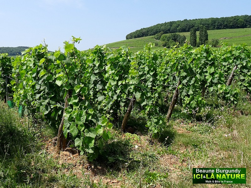 23-burgundy-vineyards-image-landscape
