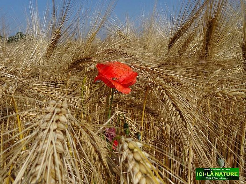 51-poppy-world-war-1